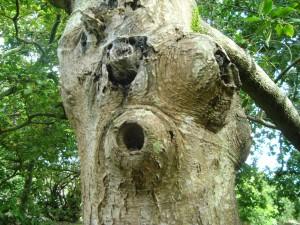 Cet arbre a été planté par Victor Hugo en son jardin pour symboliser l'espoir en les États-Unis d'Europe. Curieusement, il est plein de neouds et de cavités, mais il résiste.