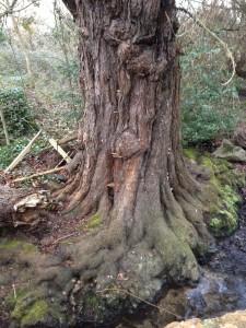 L'arbre du saut du saumon (Romsey)