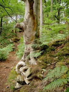L'arbre du sentier/Forêt de Fontainebleau (photo Sylvie Dallet)