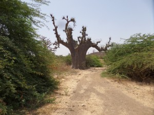 Le baobab qui nous attend (photo Eddy Saint-Martin, 2014, Sénégal)