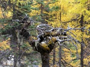 Cet arbre se dresse entre les mélèzes chinois et les séquoias, comme une paume ouverte. Que dit il avant de rejoindre l'humus profond ?