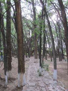 Ces arbres sont inclinés en direction de l'arbre ancêtre, comme courbés en déférence ou attirés par sa force