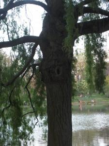 Un saule du Bois de Vincennes, à la belle présence (photo Ig'Or Galan)