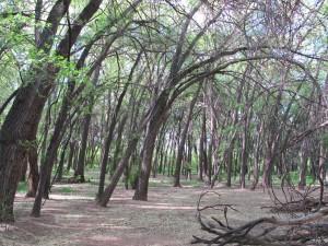 les arbres voisins du grand Karagatch (sycomore)