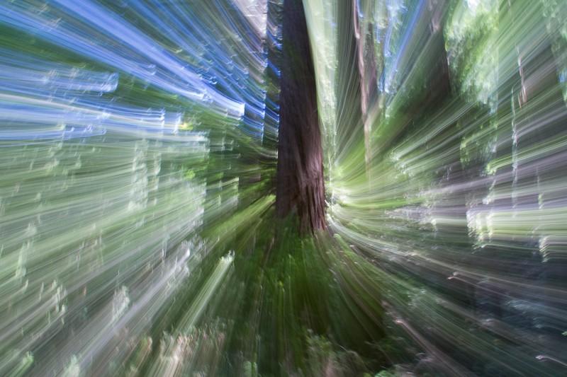 Photo prise dans le parc de séquoias géants Muir Woods à côté de San Francisco (© Ivan Magrin-Chagnolleau)