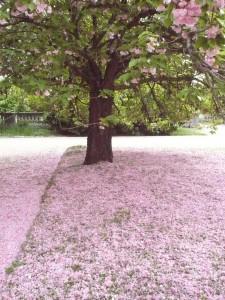 Le cerisier d'Auteuil (Elisabeth Launay-Dolet)