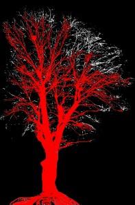 sophora rouge  avec branches